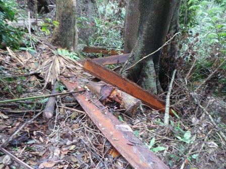 Gỗ được xẻ ngay giữa rừng.