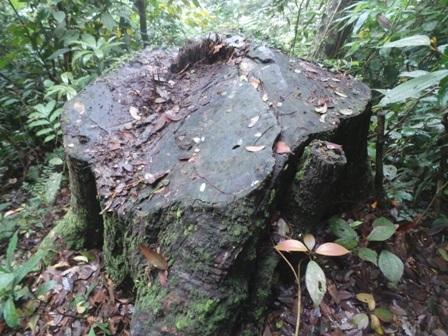 Có những cây gỗ đường kính khoảng 80cm.