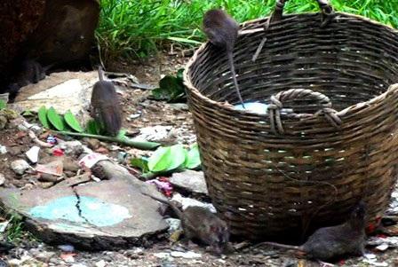 Chuột đại náo khu dân cư