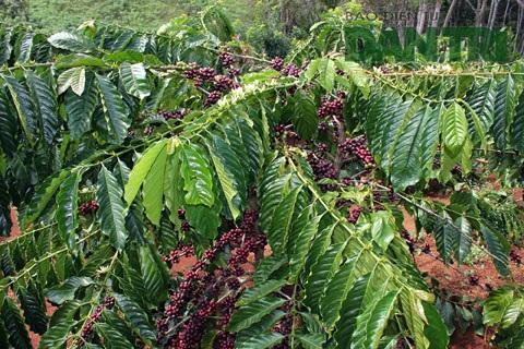 Dù cà phê đang vào mùa thu hoạch nhưng chủ vườn hết sức thận trọng khi tuyển người làm