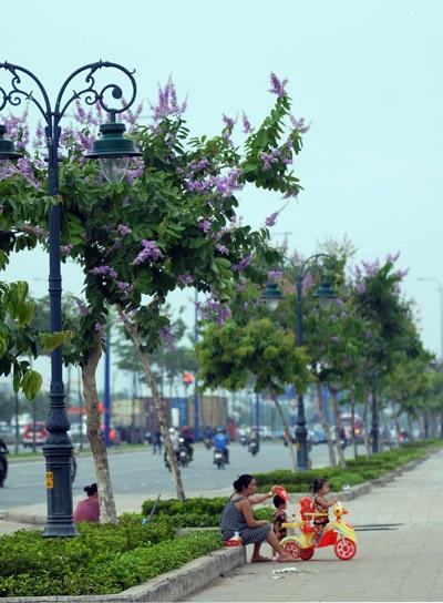 Hoa bằng lăng làm nên khung cảnh thơ mộng giữa một thành phố hiện đại