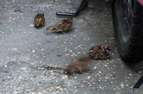 Hầu hết chim sẻ đã bị cắt đuôi, tỉa cánh từ trước