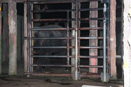 Con voi Ka được nhốt trong chuồng