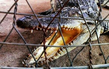Anh Cường và một người khác phải chích điện mới bắt được con cá sấu này