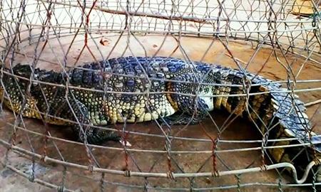 Con cá sấu được anh Cường bắt trên sông