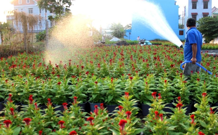 Những chậu hoa mào gà sẽ được bán với giá từ 60 – 80.000 đồng/chậu