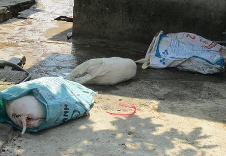 Heo được giết mổ để dưới nền nhà cáu bẩn.