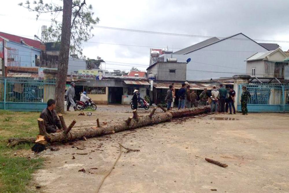 Cây thông chết khô từng gây hoang mang, lo lắng cho nhiều người dân nay đã được chặt hạ
