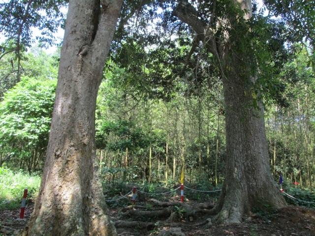 Cây trôi (bên phải) cùng cây trám đen đứng sừng sững bên cạnh nhau