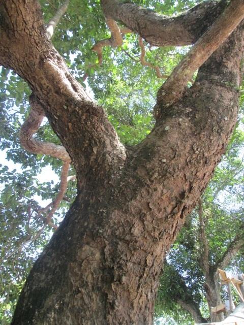 Trải qua hàng trăm năm, thân, cành và tán của cây trâm vối vẫn giữ được sức sống mãnh liệt