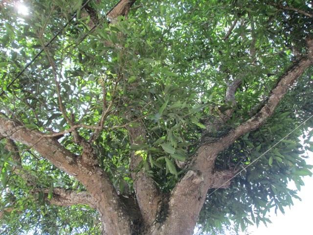 Tán của cây báng cũng um tùm
