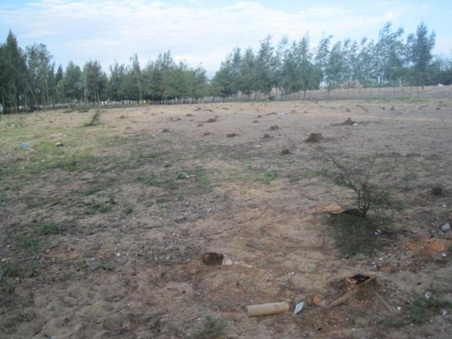 Hàng trăm gốc cây phi lao bị đốn hạ