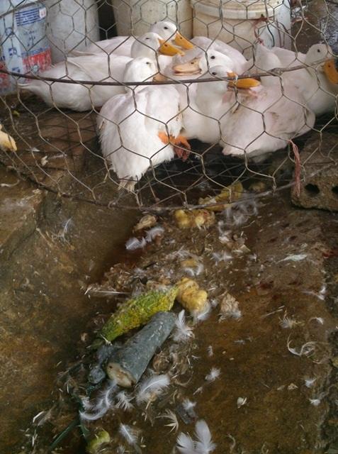 Nước thải bẩn, phân, lông nhớp nháp chảy quanh khu vực giết mổ