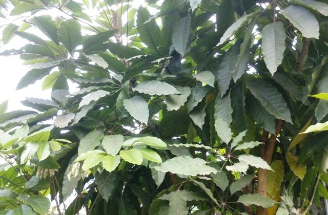 Cây lá đắng thường mọc ở các đồi núi thấp miền núi Thanh Hóa