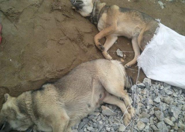 Hai con chó đã chết được cho là nam thanh niên bắt trộm