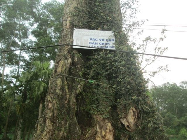 Cây Gạo 300 năm tuổi chết khiến dân làng tiếc thương