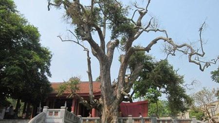 """Cây táu 2100 năm tuổi trước miếu Thiên Cổ là niềm tự hào dân làng Hương Lan đang lâm """"trọng bệnh""""."""