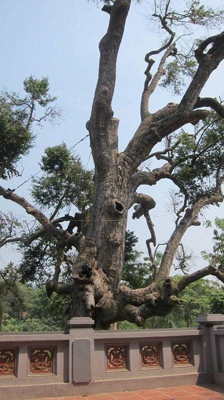 Thân cây bị sâu mọt đục khoét, thiếu chất dinh dưỡng nên nhiều cành bị khô chết dần