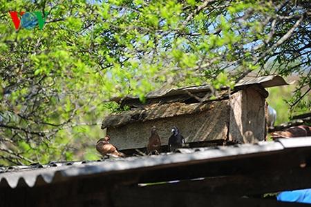 Một chuồng chim bồ câu trong nắng sớm.