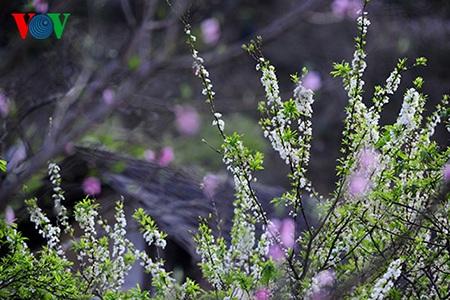 Hoa mận trắng xen lẫn hoa đào thấp thoáng sau những mái nhà cũ tạo nên một khung cảnh rất nên thơ.