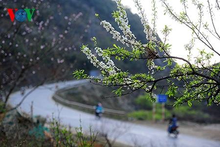Những cung đường cong trên vùng đất cao nguyên tràn ngập những hoa đào, hoa mận.