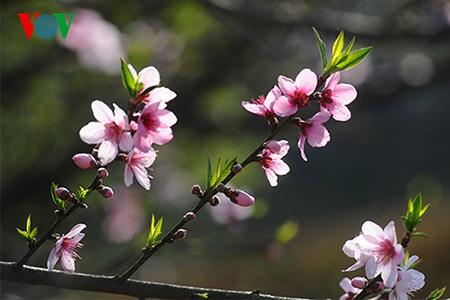 Những bông hoa đào năm cánh đua nhau khoe sắc