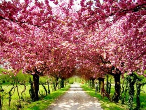 Tại Việt Nam và nhiều nước trên thế giới, xu hướng du lịch theo mùa hoa đang nở rộ (ảnh: Internet)