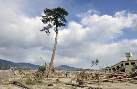 Chuyện về cây thông duy nhất còn lại sau thảm họa sóng thần Nhật