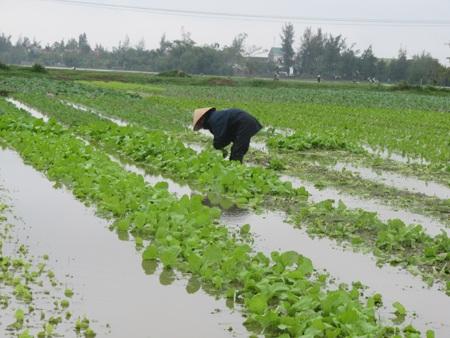 """Người trồng rau """"khóc ròng"""" vì mưa lớn trái mùa - 1"""