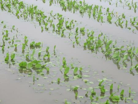 """Người trồng rau """"khóc ròng"""" vì mưa lớn trái mùa - 3"""