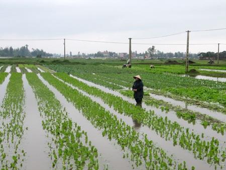 """Người trồng rau """"khóc ròng"""" vì mưa lớn trái mùa - 5"""