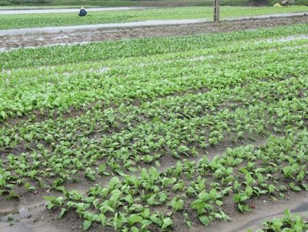 """Người trồng rau """"khóc ròng"""" vì mưa lớn trái mùa - 4"""