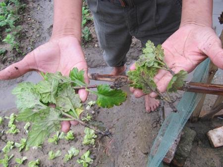 """Người trồng rau """"khóc ròng"""" vì mưa lớn trái mùa - 7"""