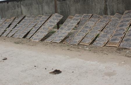 Bánh đa được phơi ngay sát sản phẩm phóng uế của trâu bò