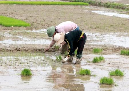 Hầu hết giống lúa được sử dụng là lúa hàng hóa, năng suất cao.