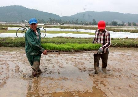 Để thuận lợi cho chăm bón, người dân Nghệ An bắc mạ để cấy.