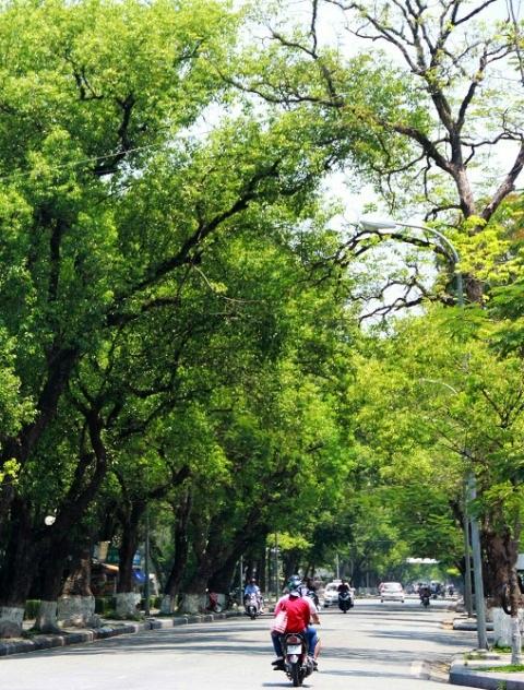 Cây xanh xòe bóng mát nhiều đường phố ở Huế