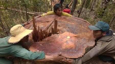 Một cây gỗ lớn khác bị đốn hạ