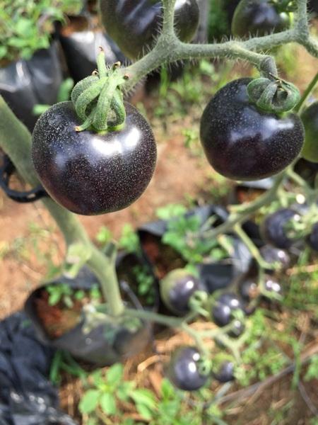 Cà chua đen ở Lâm Đồng