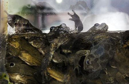 Những con ếch ở hồ Titicaca còn tươi nguyên khi để trong tủ kính
