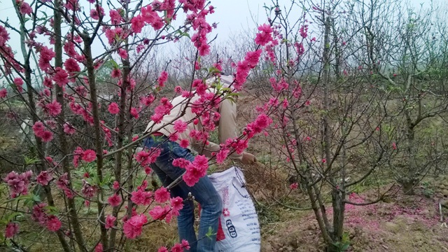 Cả vườnđào bung nở hoa từ sớm khiến người dân khóc dở, mếu dở