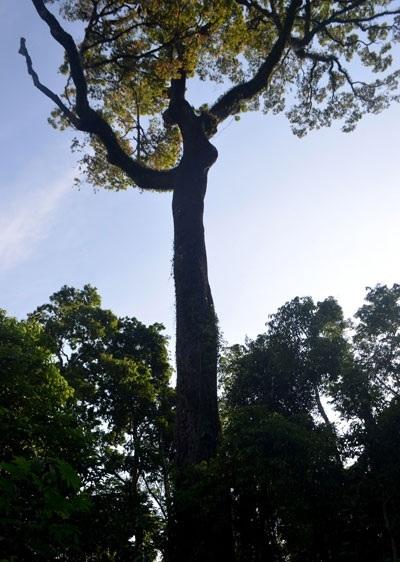 Cây chò cao vượt lên trên trong khu rừng