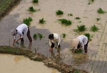 Giá bồi thường đất lúa sẽ gấp đôi đất ở - 1