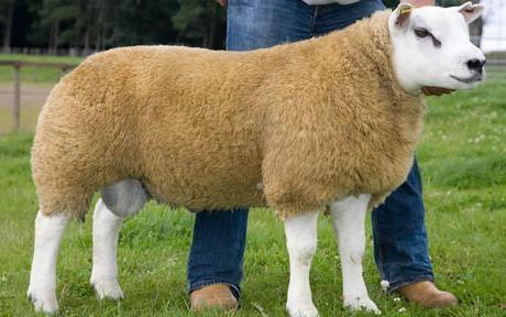 """""""Sốc"""" vì một con cừu có giá 376.000 USD - 1"""