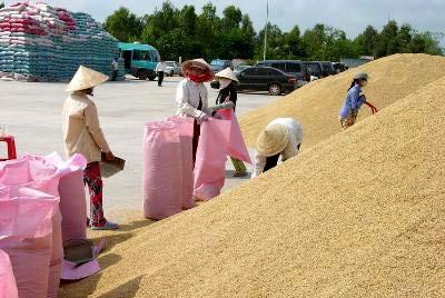 """Giá lúa gạo """"sốt"""" từng ngày - 1"""