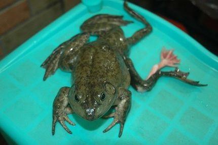 Tìm thấy con ếch 7 chân - 1