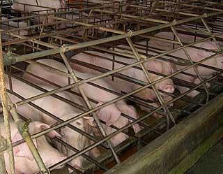 Cử nhân nuôi lợn kiếm sống  - 1