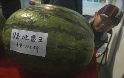 Quả dưa hấu nặng gần 60kg - 2