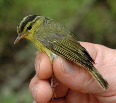 Phát hiện loài chim chích mới ở Việt Nam - 1