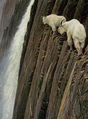 Những loài dê leo trèo - 1